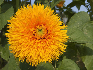 double flowered sunflower