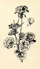 Garden Geranium (Pelargonium hortorum)