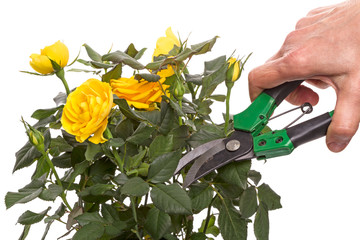 Yellow rose and hand with secateur