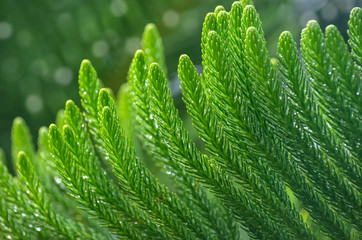 Araucaria branch in rain drops