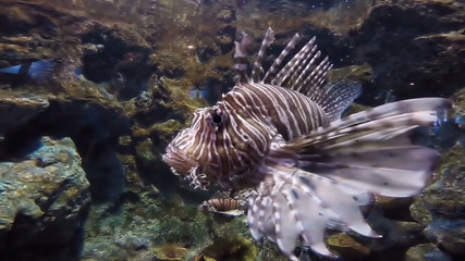 Scorpion Fish, A lion fish in an aquarium