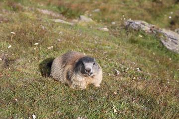 Murmeltier in den Schweizer Alpen