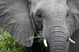 African elephant eats grass.South Africa. Слон африканский