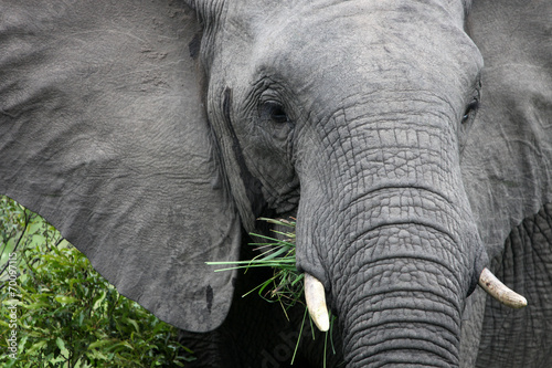 Staande foto Olifant African elephant eats grass.South Africa. Слон африканский