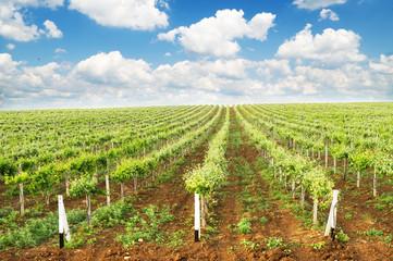 Vineyard summer landscape