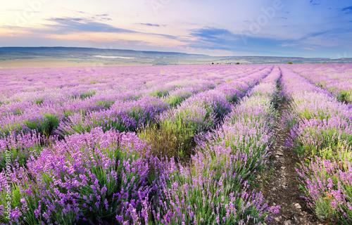 Meadow of lavender. - 70098187