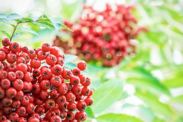 Red rowan berries on a tree