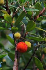 Les fruits de l'arbousier