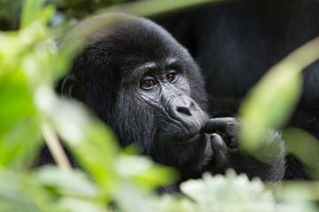 Bwindi Impenetrable NP: 1. Gorilla Trekking