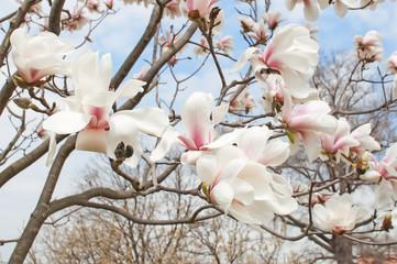 Magnolia tree blossom