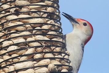 Woodpecker on a Peanut Feeder