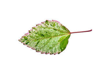 Hibiscus leaf with Clipping Path