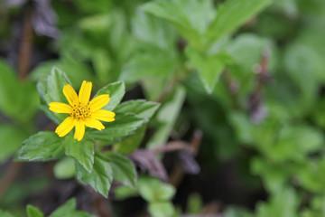 Beautiful Singapore dailsy flower (Melampodium divaricatum)