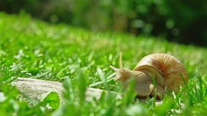 European pulmonate land snail (Helix aspersa)
