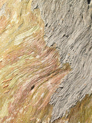 eucalyptus tree bark texture background image