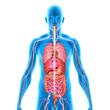 Leinwanddruck Bild - Human Anatomy