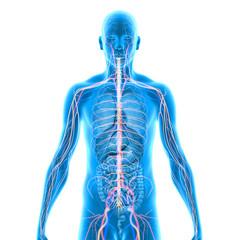 Anatomy blue