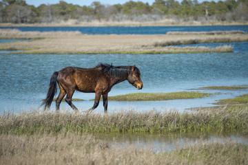 Assateague horse wild pony