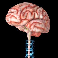 Brain with backbone.