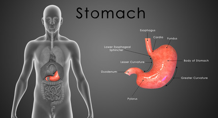 Stomach labelled