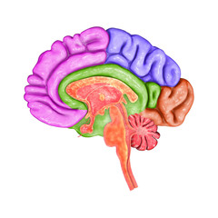 Brain parts.