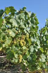 pieds de vigne (Champagne-Ardennes)