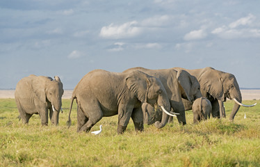 Elephants of Amboseli National Park
