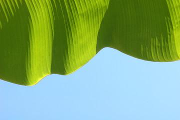 banana leaf on blue sky