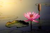The Pink Lotus Flower