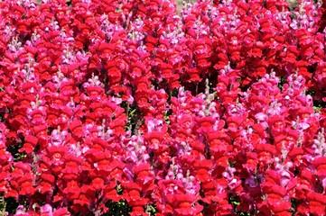 Pink snapdragon flowers © Arena Photo UK