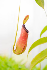 The Nepenthes or Monkey Cups