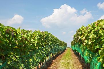 Vineyard, Moravia, Czech Republic