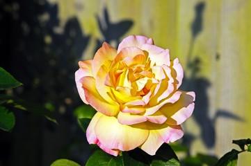 Pink and yellow English rose © Arema {jptp IL
