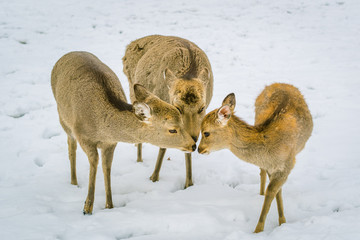 Deer with family