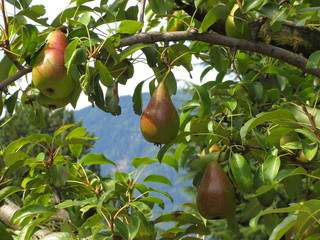 Red pears on tree branches