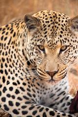 Occhi di ghiaccio Leopardo