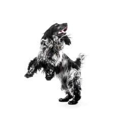 Cocker Spaniel puppy dog