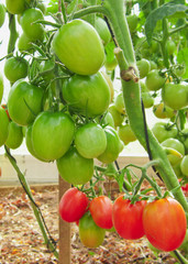Many tomatoes growing in a greenhouse.