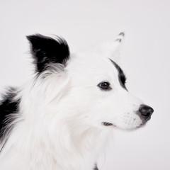 black and white dog (45)