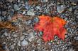 canvas print picture - maple autumn leaf