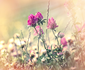 Flowering of red clover in meadow