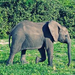 Young elephant, Botswana, Africa