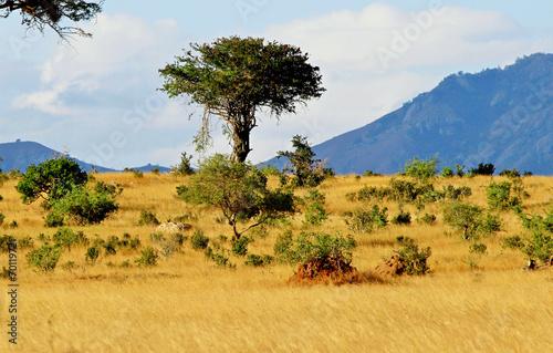 Papiers peints Autre Afrique Acacia tree on african savanna