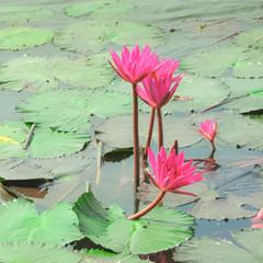 beautiful blossom lotus flower