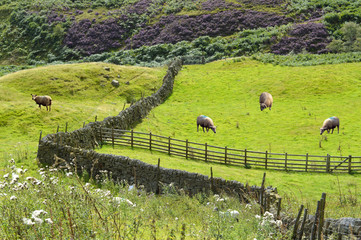 Sheep in Derbyshire, England UK