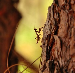 Small mantis religiosa walking up a pine bark