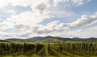 Vignes sur la route des vins