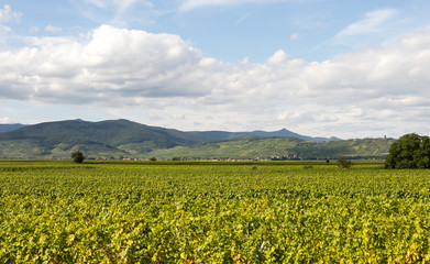 Vignoble sur la route des vins
