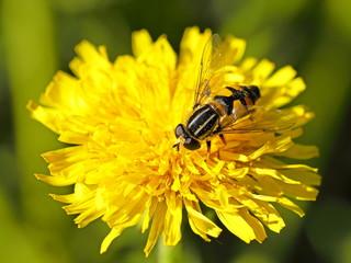 Bulb fly Helophilus pendulus
