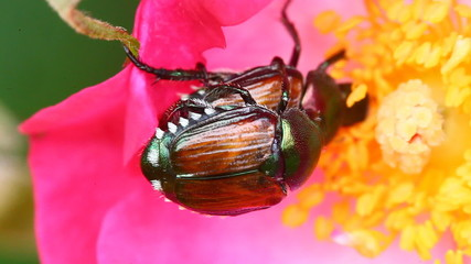 Japanese Beetles on a rose
